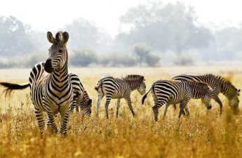 Zebra Satwa Liar Seperti Kuda Berwarna Unik
